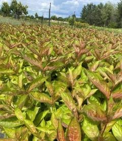 Weigela florida 'Wings Of Fire', Вейгела квітуча 'Вінгз оф Фаєр'