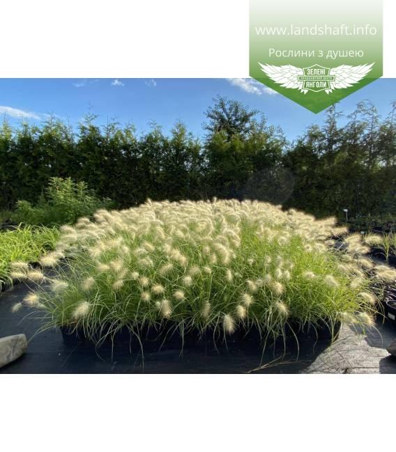 Pennisetum villosum, Пеннісетум волохатий