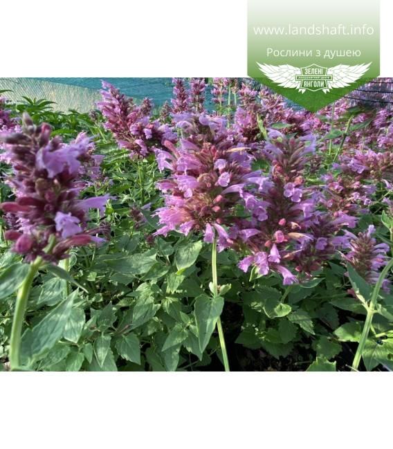 Agastache 'Poquito Lavender', Агастахе 'Покито Лавендер'