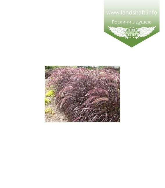 Pennisetum x advena 'Rubrum', Пеннісетум щетинистий 'Рубрум'