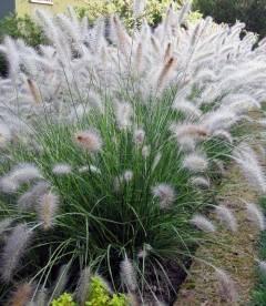 Pennisetum alopecuroides 'Hameln',Пеннисетум лисохвостный 'Хамелн'