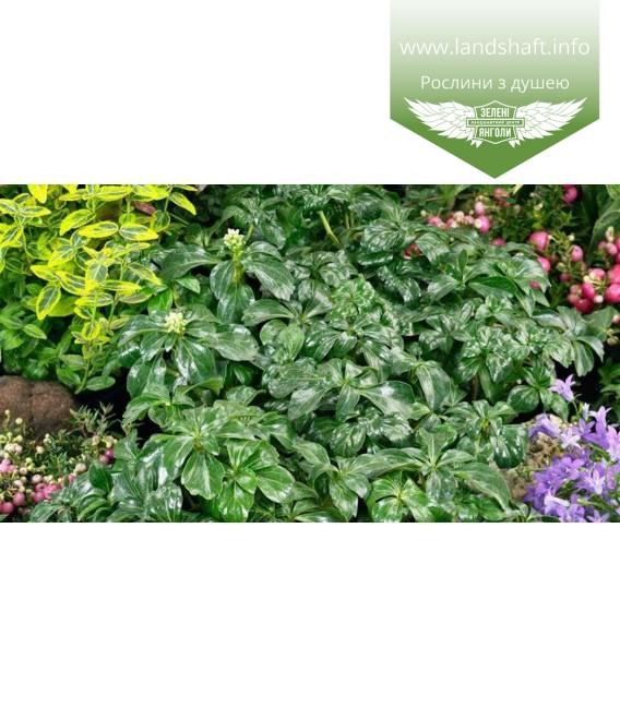Pachysandra terminalis 'Green Sheen', Пахисандра верхушечная 'Грин Шин'
