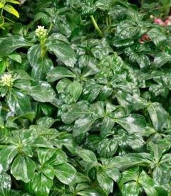 Pachysandra terminalis 'Green Sheen', Пахісандра верхівкова 'Грін Шін'