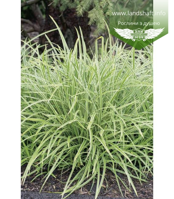 Carex morrowii 'Ice Dance',Осока японская 'Айс Дэнс'