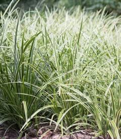 Carex morrowii 'Ice Dance', Осока японська 'Айс Денс'