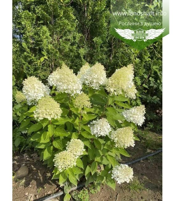 Hydrangea paniculata 'Magical Sweet Summer', Гортензия метельчатая 'Меджикал Свит Саммер'