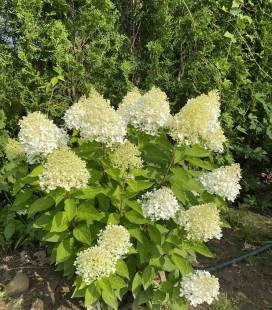 Hydrangea paniculata 'Magical Sweet Summer', Гортензія волотиста 'Меджікал Світ Самер'