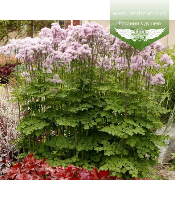 Thalictrum aquilegifolium 'Nimbus Pink', Василистник водосборолистный 'Нимбус Пинк'