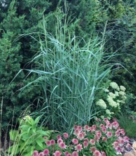 Panicum virgatum 'Prairie Sky', Просо прутовидне 'Прері Скай'