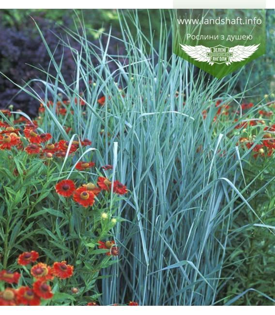 Panicum virgatum 'Prairie Sky', Просо прутьевидное 'Прейри Скай'