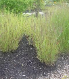 Panicum virgatum 'Shenandoah', Просо прутовидне 'Шенандоа'