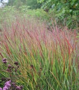 Panicum virgatum 'Shenandoah', Просо прутьевидное 'Шенандоа'