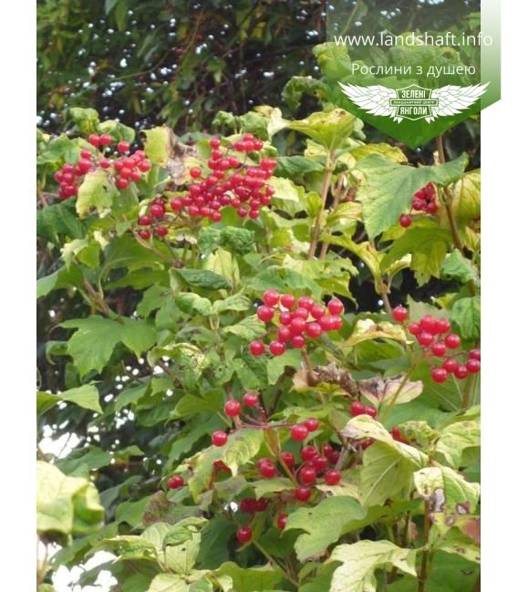 Viburnum opulus 'Park Harvest' , Калина обыкновенная 'Парк Харвест'
