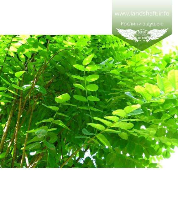 Robinia pseudoacacia 'Umbraculifera', Робиния лжеакация 'Умбракулифера'