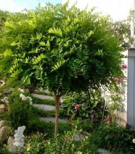 Robinia pseudoacacia 'Umbraculifera', Робінія псевдоакація 'Умбракуліфера'