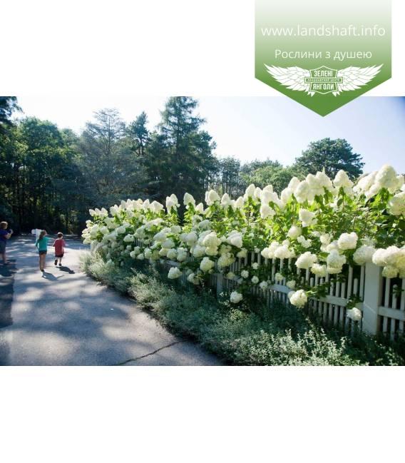 Hydrangea paniculata 'Polar Bear' Гортензия метельчатая