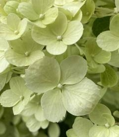 Hydrangea paniculata 'Polar Bear', Гортензія волотиста 'Полар Бер'