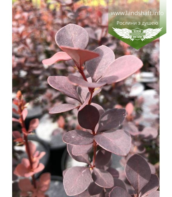 Berberis thunbergii 'Chocolate Summer', Барбарис Тунберга 'Чоклейт Самер'