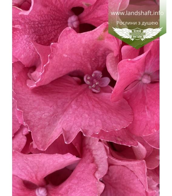Hydrangea macrophylla 'Masja', Гортензія крупнолиста 'Мася'