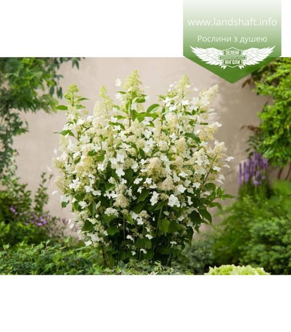 Hydrangea paniculata 'Kyushu' Гортензия метловидная 'Киушу'
