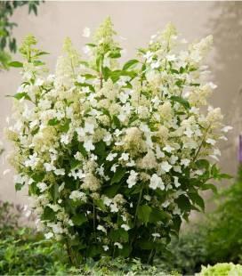 Hydrangea paniculata 'Kyushu', Гортензия метельчатая 'Киушу'