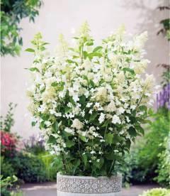 Hydrangea paniculata 'Kyushu', Гортензія волотиста 'Кіушу'