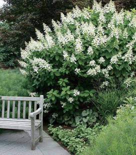 Hydrangea paniculata 'Kyushu', Гортензия метловидная 'Киушу'