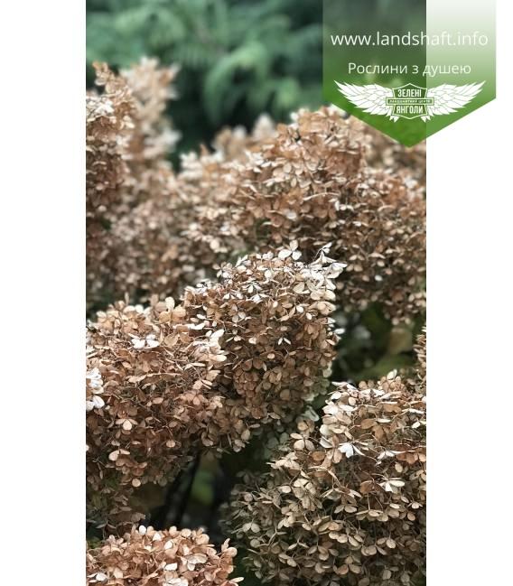 Hydrangea paniculata 'Bobo' Гортензия метельчатая 'Бобо'