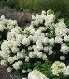 Hydrangea paniculata 'Bobo', Гортензія волотиста 'Бобо'
