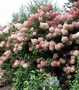 Hydrangea paniculata 'Phantom', Гортензия метельчатая 'Фантом'