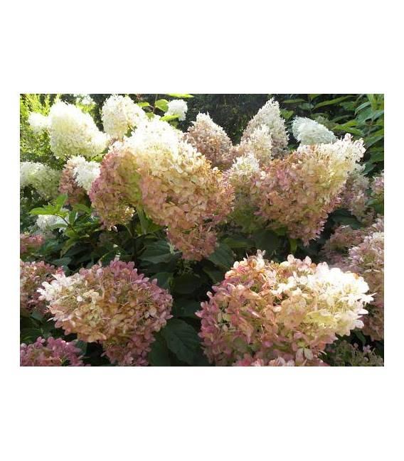 Hydrangea paniculata 'Phantom', Гортензія волотиста 'Фантом'