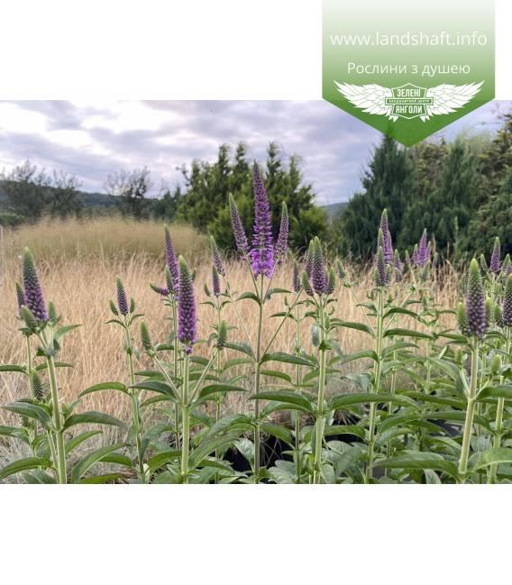 Veronica spicata 'First Match', Вероника колосистая 'Ферст Матч' многолетние декоративное цветущие растение.