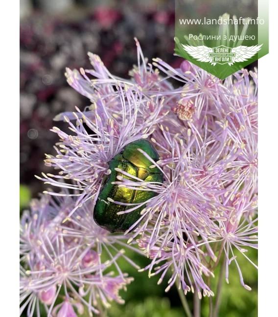Thalictrum aquilegifolium 'Nimbus Pink', Василистник водосборолистный 'Нимбус Пинк' tsvitinnya roslyny цветения растения.