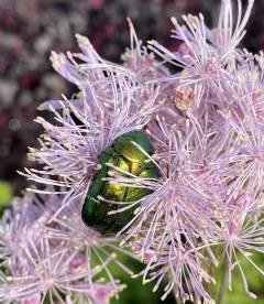 Thalictrum aquilegifolium 'Nimbus Pink', Рутвиця орликолиста 'Німбус Пінк' цвітіння рослини.