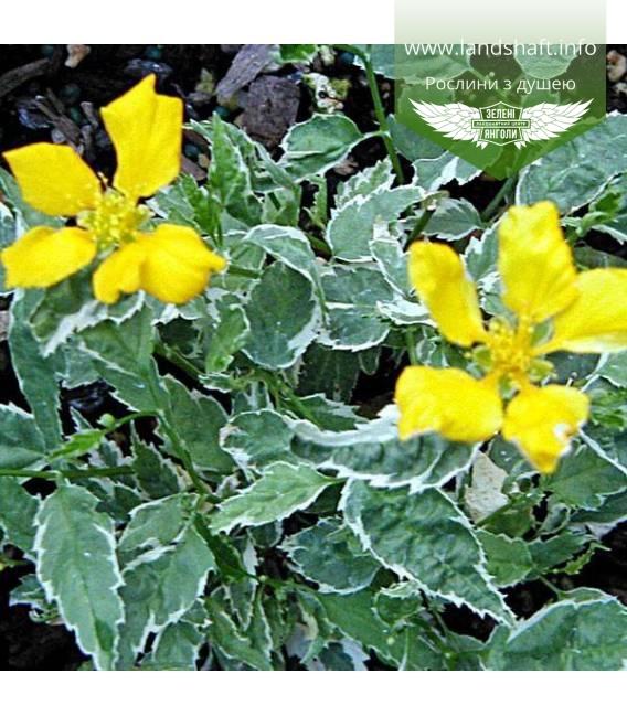 Kerria japonica 'Picta', Керія японська 'Пікта'