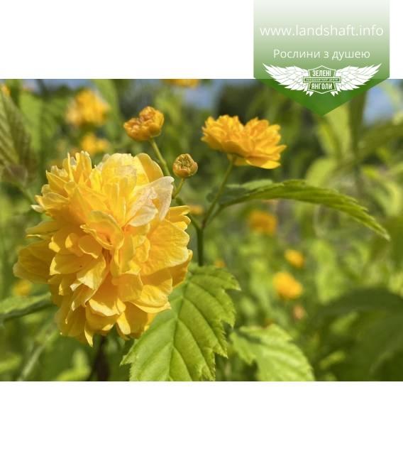 Kerria japonica 'Pleniflora', Керія японська 'Пленіфлора' цвітіння рослини.