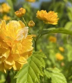 Kerria japonica pleniflora Керрия японская махровая, цветения растения.