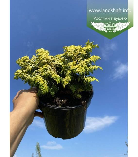 Chamaecyparis lawsoniana 'Jeanette' Кипарисовик Лавсона мягкая хвоя с золотистым оттенком.