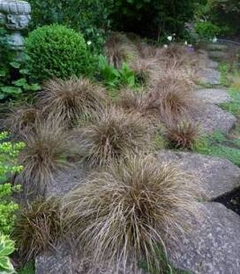 Carex flagellifera 'Bronze Form', Осока джутикова 'Бронз Форм'