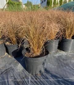 Carex flagellifera 'Bronze Form', Осока жгутиковая 'Бронз Форм'
