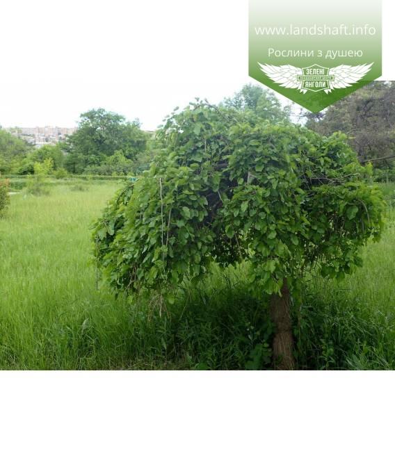 Morus nigra 'Pendula', Шелковица черная 'Пендула'