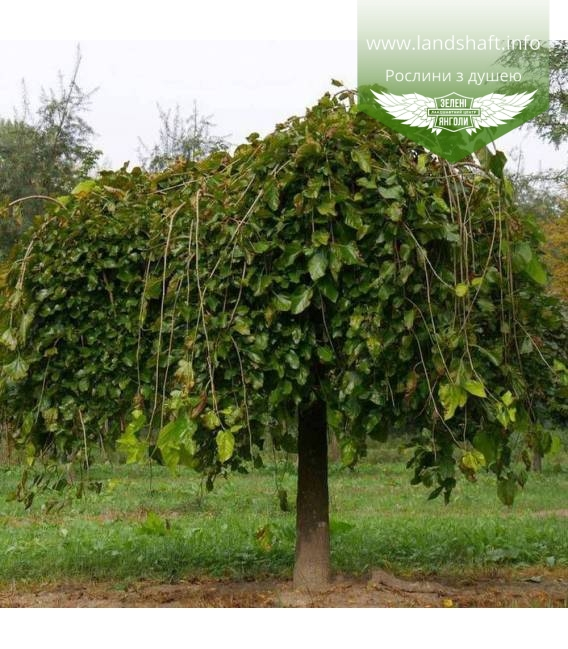 Morus nigra 'Pendula', Шовковиця чорна 'Пендула'