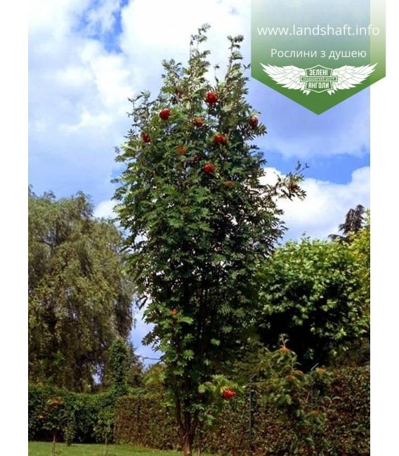 Sorbus aucuparia 'Fastigiata', Рябина обыкновенная 'Фастигиата'