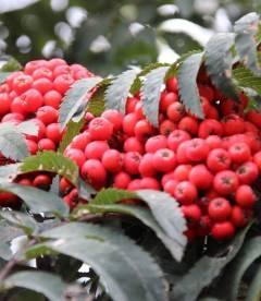 Sorbus aucuparia 'Fastigiata', Горобина звичайна 'Фастігіата'