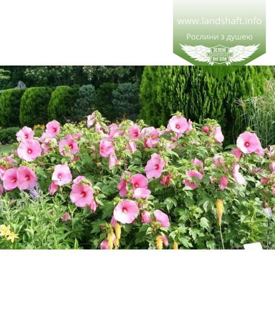 Hibiscus hybrida, Гібіскус травянистий квітка