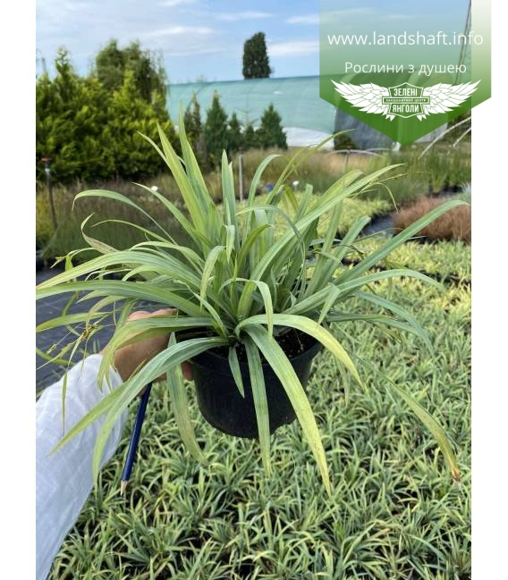 Carex laxiculmis 'Bunny Blue', Осока розлогостеблова 'Бані Блу'