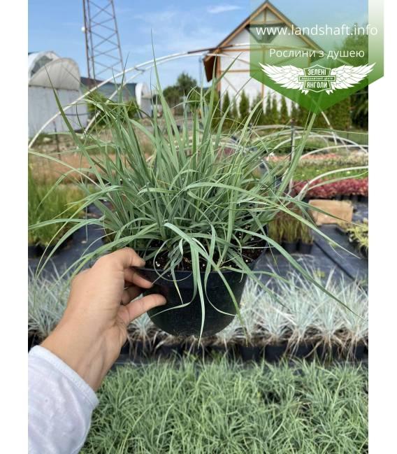 Carex panicea 'Pamira', Осока просяна 'Паміра'