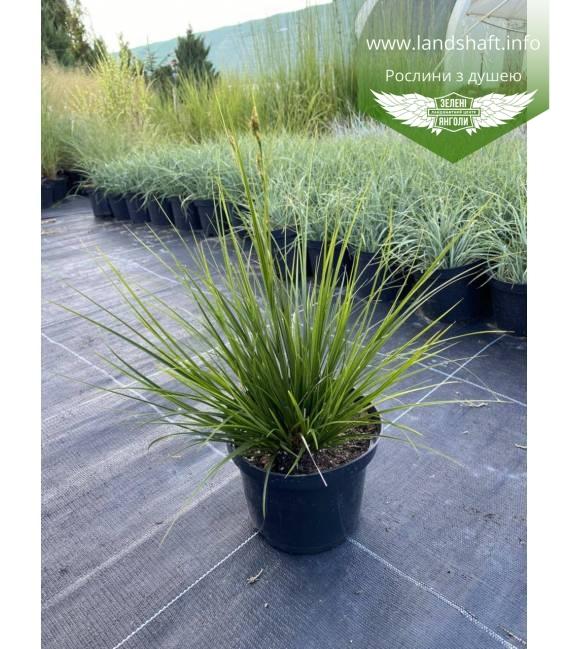 Осока коричневатая 'Рейсинг Грин' темно-зеленая злаковая трава