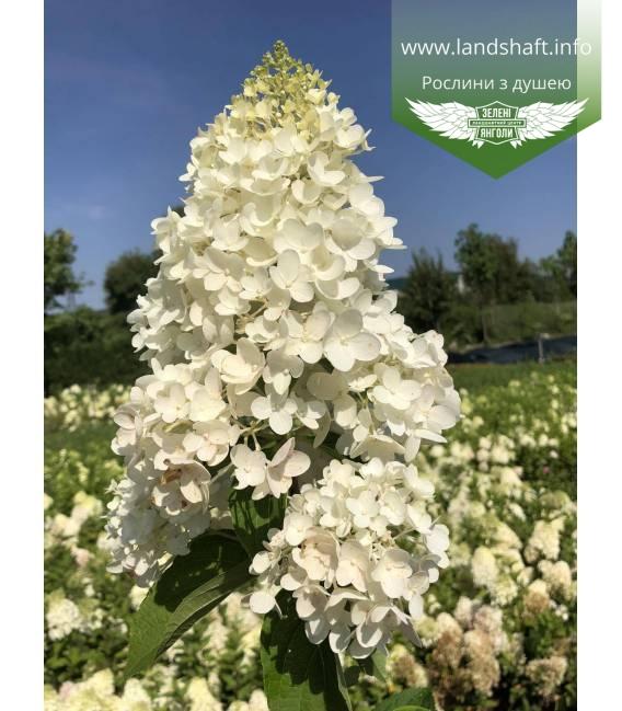Гортензия метельчатая 'Силвер Доллар' tsvit roslyny vlitku цвет растения летом.