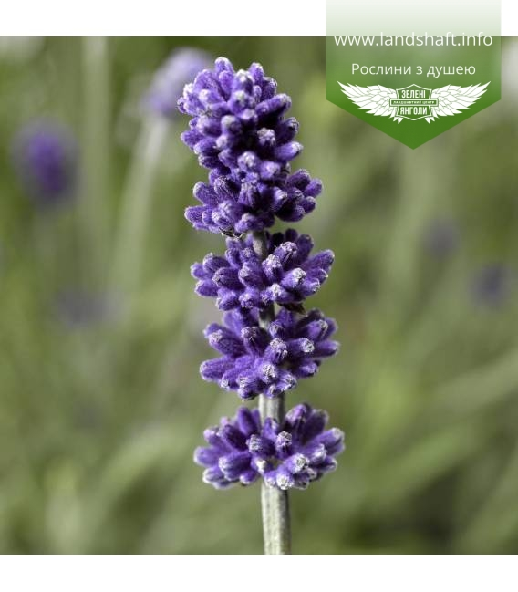 Lavandula angustifolia 'Sentivia Blue', Лаванда вузьколиста 'Сентівіа Блу'